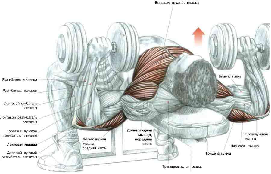 Бодибилдинг - Упражнения для мышц груди Чеширочка: А ГДЕ СКАЧАЛИ?